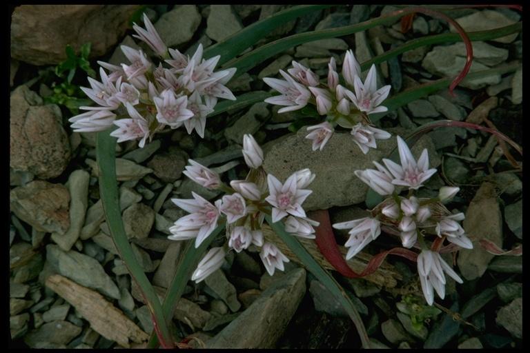 Allium cascadense image