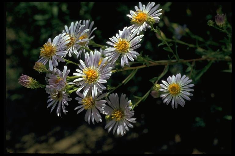 Symphyotrichum subspicatum